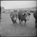 Tule Lake Relocation Center, Newell, California. A close up of hogs at the temporary location of th . . . - NARA - 536370.tif