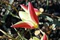 Tulipa clusiana in Jardin des Plantes 06.jpg