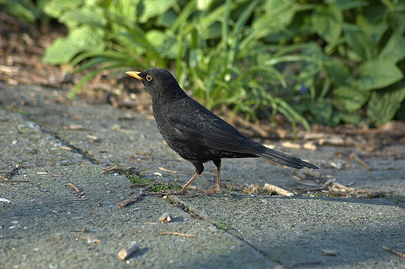 File:Turdus merula aka blackbird in copenhagen botanical garden.jpg
