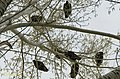 Turkey Vultures in a tree (3599374569).jpg