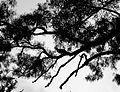 Turkey up a gum tree - panoramio.jpg