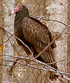 Turkey vulture profile.jpg