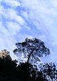 Turkish pine trees, Canyon Kapıkaya 01.JPG