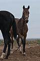 Turkmen Studfarm - Flickr - Kerri-Jo (11).jpg