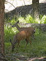 Two Mule Deer (Black-Tailed Deer) in the Mariposa Grove of Yosemite.JPG