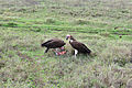Two Vultures Ngorongoro crater.JPG