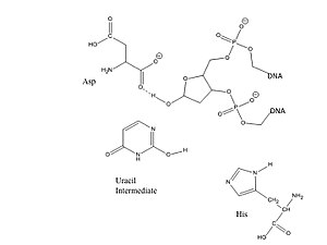 Uracil-DNA glycosylase - Step 2: Uracil intermediate leaves the DNA helix; hydrogen bonds in the active site stabilize the DNA backbone.