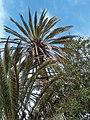 Un palmier du nord.jpg