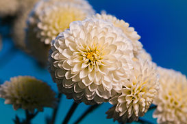 Unidentified Chrysanthemum 6970.jpg