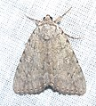 Unidentified moth species (Catocala is probably the genus) (19704096320).jpg