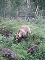 Ursus arctos-Bear-Female+cub-Polar Park Norway.jpg