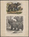 Ursus arctos - 1700-1880 - Print - Iconographia Zoologica - Special Collections University of Amsterdam - UBA01 IZ22600037.tif