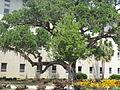 VSU Quad Tree 26.JPG