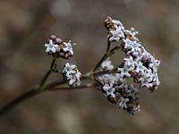 Valeriana prionophylla 2