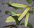 Ventilago maderaspatana 03.JPG