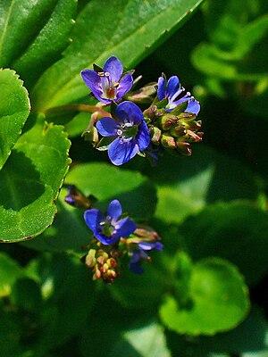 Veronica beccabunga, Plantaginaceae, Brooklime...