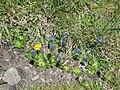 Veronica bellidioides001.jpg