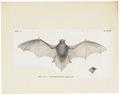 Vespertilio spec. - 1700-1880 - Print - Iconographia Zoologica - Special Collections University of Amsterdam - UBA01 IZ20800185.tif