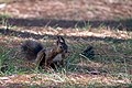 Veverica squirrel (43181532860).jpg