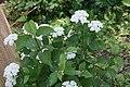 Viburnum dentatum 3zz.jpg