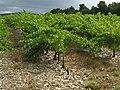 Vignoble de Séguret sur le chemin du Crestet.jpg
