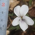 Viola eizanensis (flower with scle).jpg