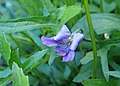 Viola palmata kz02.jpg
