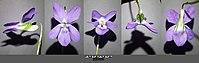 Viola riviniana sl8.jpg