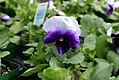 Viola tricolor Delta Beaconsfield 0zz.jpg