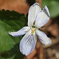 Viola vaginata (flower s5).jpg