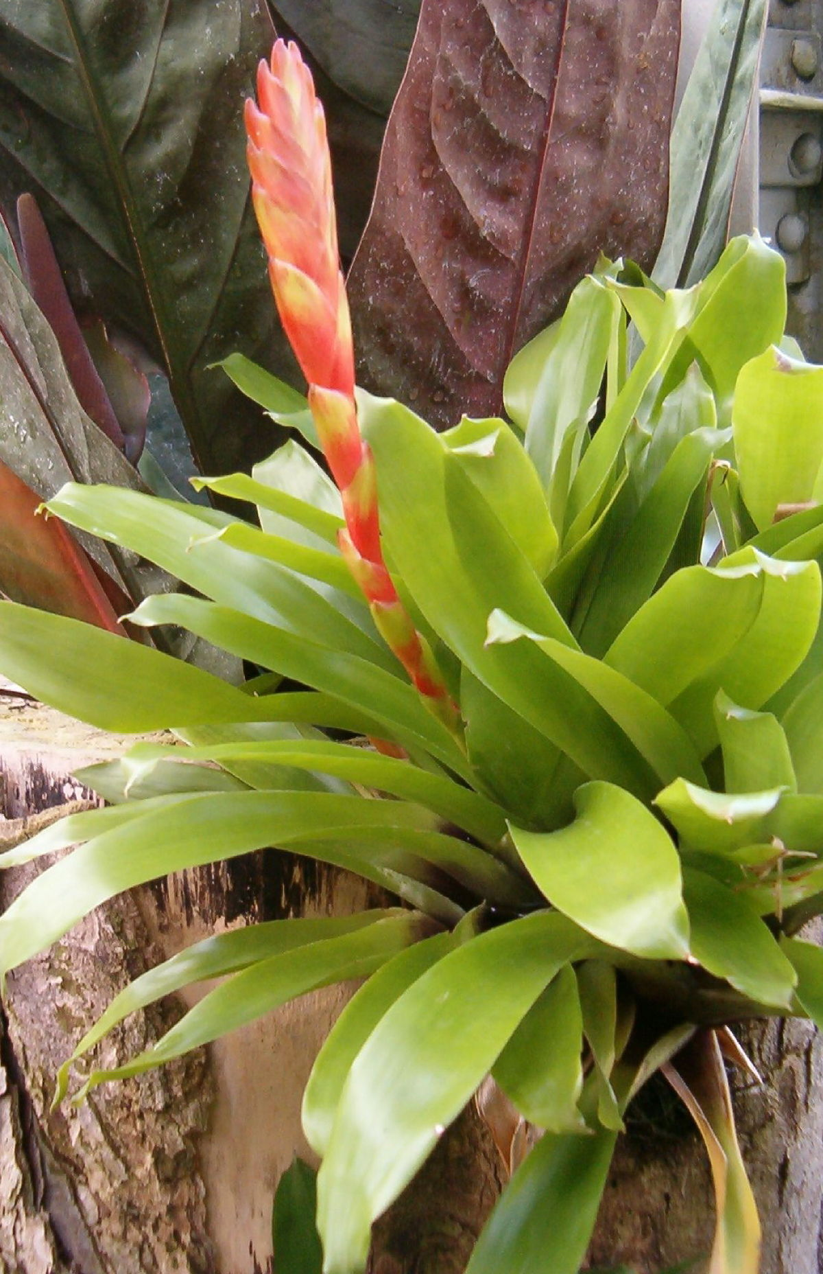 Bromeliads How To Keep The Color Going: Wikipedia