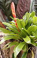 Vriesea duvaliana HabitusInflorescence BotGardBln0906.jpg