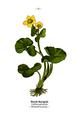 WWB-0037-013-Caltha palustris.png