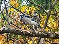 Wade Lagoon Blue Jays (21938821294).jpg