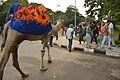 Walking Camel - Sukhna Lake Area - Chandigarh 2016-08-07 9058.JPG