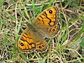 Wall Brown (17942880530).jpg