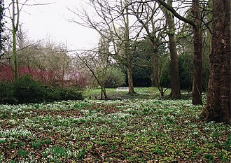 Walsingham - Snowdrops and Winter Aconite in the abbey gardens