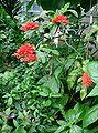 Warszewiczia coccinea1.jpg