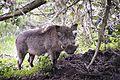 Warthog, Bale, Ethiopia (9682058603).jpg