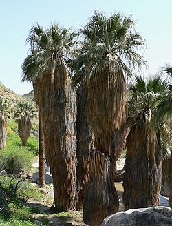 Washingtonia filifera en California