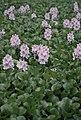 Water Hyacinth (8426360171).jpg