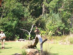 Wedge-tailed Eagle at Territory Wildlife Park.JPG