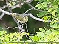 Western Crowned Warbler (Phylloscopus occipitalis) (48088904848).jpg