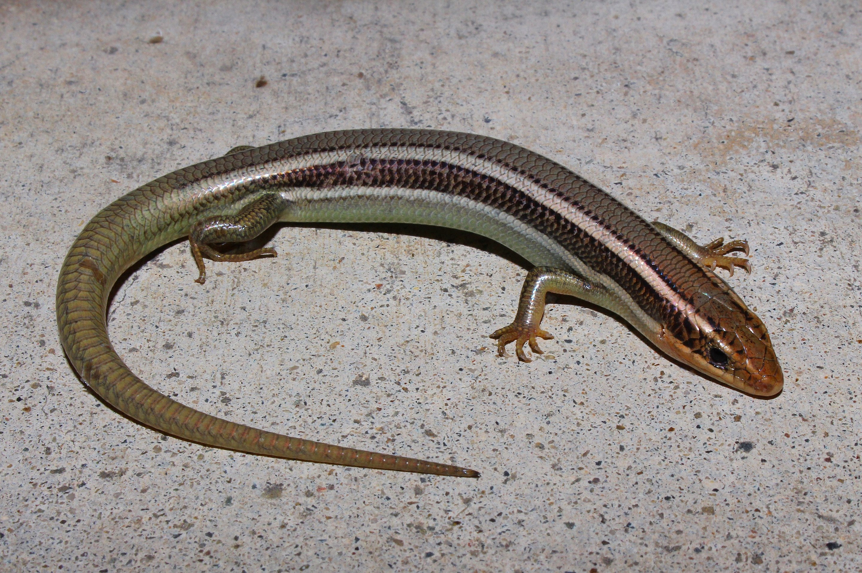 Western Skink (Plestiodon skiltonianus).JPG