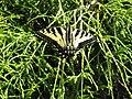 Western Tiger Swallowtail.jpg