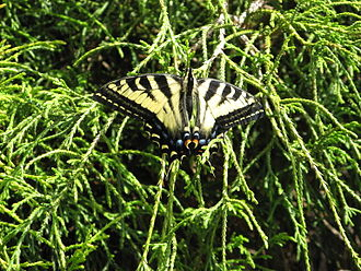 Papilio rutulus - Western tiger swallowtail, in Vancouver, Washington