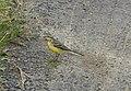Western Yellow wagtail ( Motacilla flava) manja വാലുകുലുക്കി 2.jpg