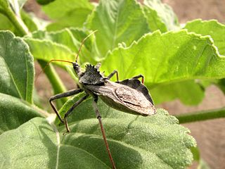 Arilus cristatus, Wheel Bug, Assassin Bug Adult