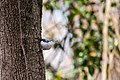 White-breasted nuthatch (46858225244).jpg