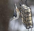 White-breasted nuthatch in the winter.jpg
